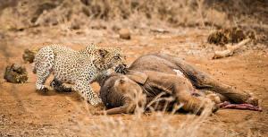 Фото Большие кошки Леопарды Слоны Мертвец Животные