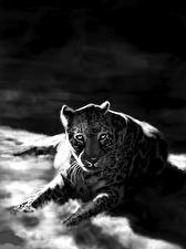 Картинки Большие кошки Леопарды Рисованные Черно белое Животные