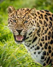Фото Большие кошки Леопарды Оскал Усы Вибриссы