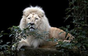Фото Большие кошки Львы Черный фон Взгляд Ветки Белый Животные