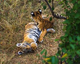 Фотографии Большие кошки Тигры Детеныши Вдвоем Животные