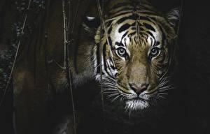 Картинки Большие кошки Тигры Морда Усы Вибриссы