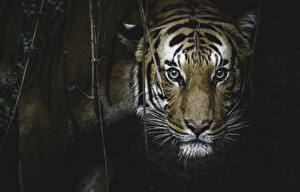 Картинки Большие кошки Тигр Морды Усы Вибриссы животное