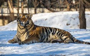 Обои Большие кошки Тигры Снег