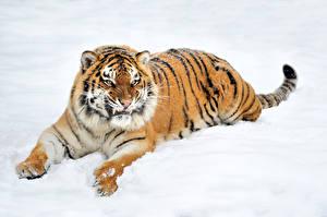 Картинки Большие кошки Тигры Снег Злость