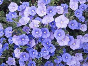 Обои Вьюнки Крупным планом Голубой Цветы