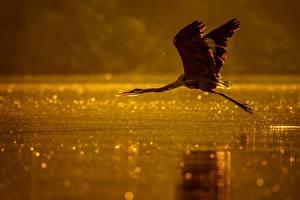 Фото Птицы Цапли Вода Полет Животные