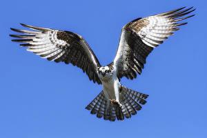 Картинки Птицы Цветной фон Крылья Летящий Osprey Животные