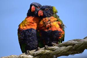 Фотографии Птицы Попугаи 2 Клюв