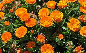 Картинки Ноготки Вблизи Оранжевый Цветы
