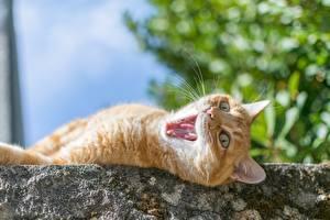 Фотография Кошки Рыжий Зевает Животные