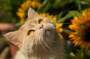 Картинки Коты Смотрит Усы Вибриссы Рыжий Животные