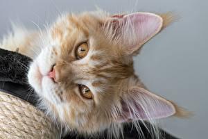 Картинки Кошки Мейн-кун Смотрит Морда Рыжий Животные