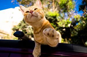 Фото Кошки Лапы Рыжий Животные