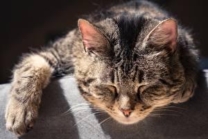 Фото Кошки Морда Спит Животные