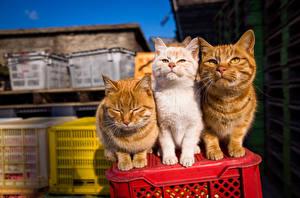 Фотографии Коты Трое 3 Рыжий Животные