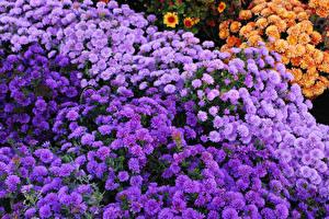 Обои Хризантемы Много Фиолетовый Цветы картинки