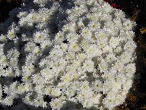 Фото Хризантемы Много Белый Цветы