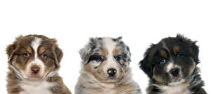 Картинки Собаки Австралийская овчарка Белый фон Трое 3 Животные