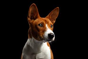 Фото Собаки Черный фон Смотрит Морда Basenji Dog