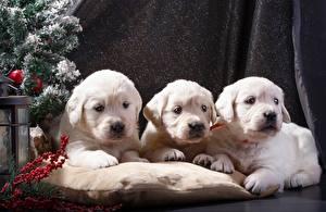 Фотографии Собаки Рождество Щенки Ретривера Трое 3 Белая Животные