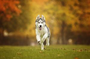 Фотография Собаки Хаски Бег Трава Животные
