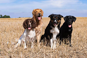 Картинки Собаки Бордер-колли Спаниель Ретривер Язык (анатомия) Смотрит Labrador