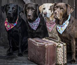 Фото Собаки Ретривера Чемоданом Взгляд Лабрадор-ретривер Животные