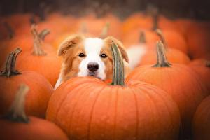 Картинка Собаки Тыква Еда Животные