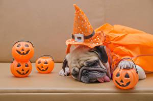 Картинки Собаки Тыква Хеллоуин Мопс Шляпа Спящий Язык (анатомия) Цветной фон Животные