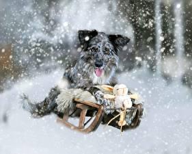 Картинка Собаки Снежинки Санки Животные
