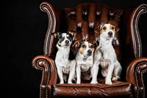 Фотографии Собаки Втроем Кресло Джек-рассел-терьер Животные