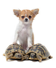 Обои Собаки Черепахи Белым фоном Чихуахуа Смотрят Животные