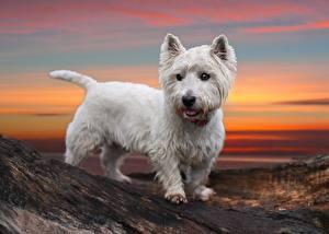 Картинка Собаки Белый Вест хайленд уайт терьер Животные