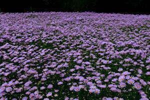 Обои Поля Астры Много Фиолетовый Цветы