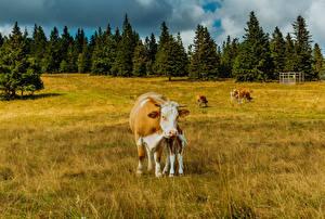 Фотографии Германия Луга Корова Cologne Животные Природа