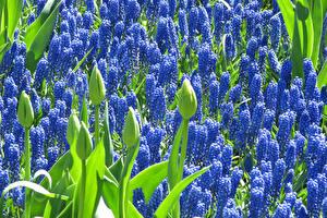 Картинка Гиацинты Много Голубой Бутон Цветы