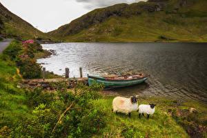 Картинка Ирландия Овцы Озеро Побережье Лодки Холмов Трава Salrock Природа Животные