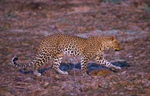 Картинка Леопарды Большие кошки Животные