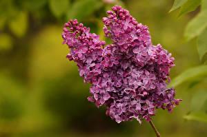 Обои Сирень Фиолетовый