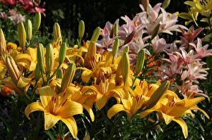 Фотографии Лилия Желтых Бутон Цветы