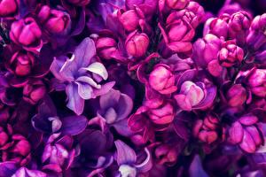 Фото Макросъёмка Вблизи Сирень Фиолетовый Цветы