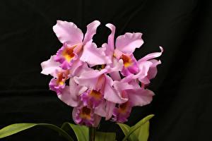 Фотографии Орхидеи Крупным планом Черный фон Розовый
