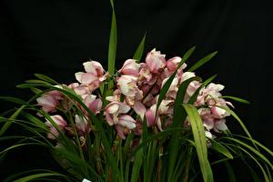Обои Орхидеи Много Черный фон Цветы картинки