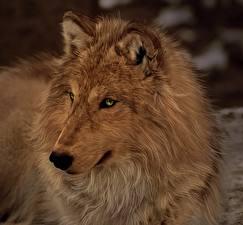 Картинка Рисованные Волки Животные