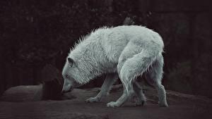 Фото Рисованные Волки