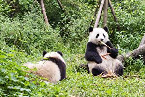 Картинка Бамбуковый медведь Медведи Вдвоем