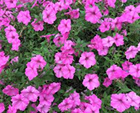 Фотографии Петунья Розовый Цветы