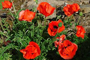 Обои Маки Вблизи Бутон Цветы