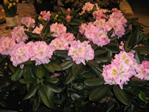 Картинки Рододендрон Розовый Листва Цветы